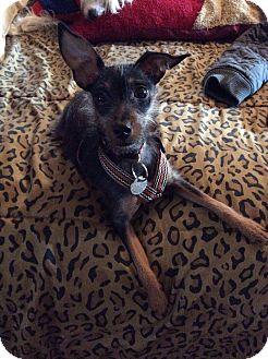 Terrier (Unknown Type, Small)/Miniature Pinscher Mix Puppy for adoption in Encino, California - MONTY