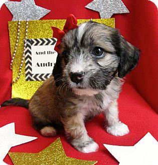 Havanese/Cockapoo Mix Puppy for adoption in Irvine, California - Audrey Hepburn