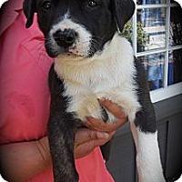 Adopt A Pet :: Nyla - Cypress, CA