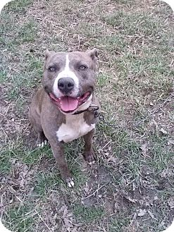 American Staffordshire Terrier Dog for adoption in richmond, Virginia - Batman