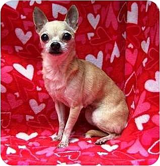 Chihuahua Mix Dog for adoption in Old Fort, North Carolina - Tiny-Adopted 2011
