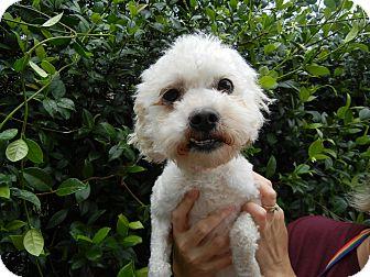 Poodle (Miniature)/Maltese Mix Dog for adoption in Houston, Texas - Dora