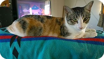 Domestic Shorthair Cat for adoption in Ravenna, Texas - Aina Precious