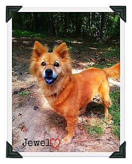 Corgi/Sheltie, Shetland Sheepdog Mix Dog for adoption in Chester, Connecticut - Jewel