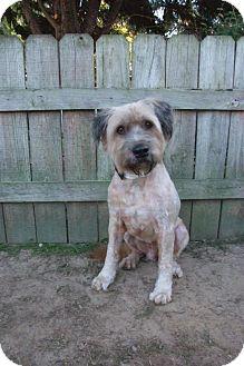 Terrier (Unknown Type, Medium) Mix Dog for adoption in Darlington, South Carolina - Scrapper