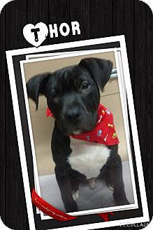 Pit Bull Terrier Mix Puppy for adoption in Apache Junction, Arizona - Thor