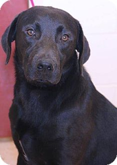 Labrador Retriever Mix Dog for adoption in McDonough, Georgia - Zion