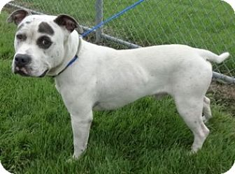 American Bulldog Mix Dog for adoption in Olive Branch, Mississippi - Hugo