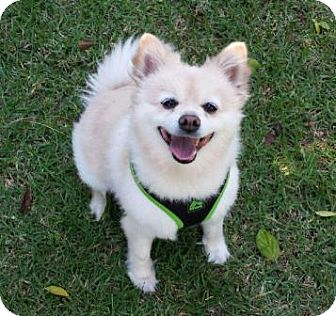 Pomeranian Dog for adoption in San Clemente, California - Tiffany