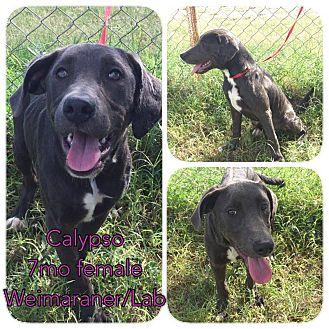 Weimaraner/Labrador Retriever Mix Puppy for adoption in DeForest, Wisconsin - Calypso