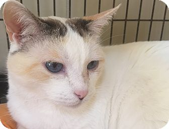 Calico Cat for adoption in Encinitas, California - Ty Ty