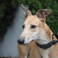 Greyhound Dog for adoption in Orange County, California - Appletini