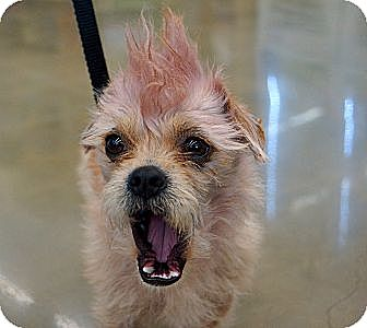 Yorkie, Yorkshire Terrier Mix Dog for adoption in Newark, Delaware - Prince
