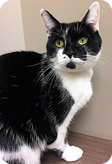 Domestic Shorthair Cat for adoption in Downers Grove, Illinois - ADOPTED!!!   Clark