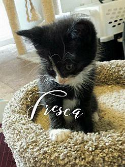 Domestic Shorthair Kitten for adoption in Wichita Falls, Texas - Fresca