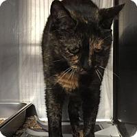Domestic Shorthair Cat for adoption in Bridgewater, New Jersey - Tippy