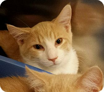 Domestic Shorthair Kitten for adoption in Kalamazoo, Michigan - Dane - Chelsea
