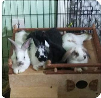 Lop, Holland Mix for adoption in West Palm Beach, Florida - Dominic
