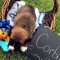 Adopt A Pet :: CORBIN - ADOPTION PENDING! - Pennsville, NJ