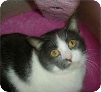 Domestic Shorthair Cat for adoption in Makinen, Minnesota - Percival