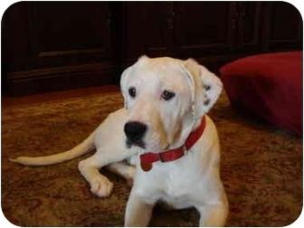 Dalmatian/Labrador Retriever Mix Puppy for adoption in Exeter, New Hampshire - Daisy