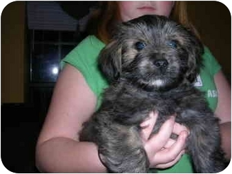 Shih Tzu/Terrier (Unknown Type, Small) Mix Puppy for adoption in Glastonbury, Connecticut - Theo