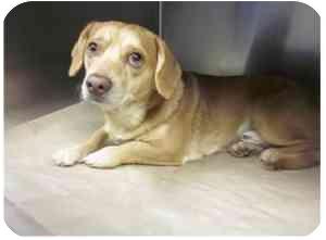 Dachshund/Beagle Mix Dog for adoption in Alexandria, Virginia - Marley
