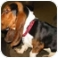Photo 3 - Basset Hound Dog for adoption in Phoenix, Arizona - Elmo