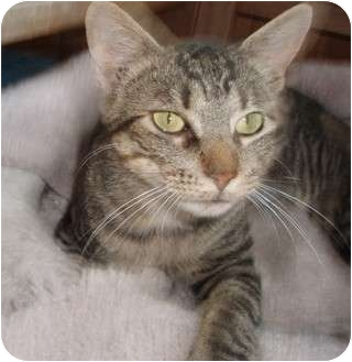Domestic Shorthair Cat for adoption in Germansville, Pennsylvania - Ralphie