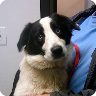 Border Collie Dog for adoption in Manassas, Virginia - Lucy
