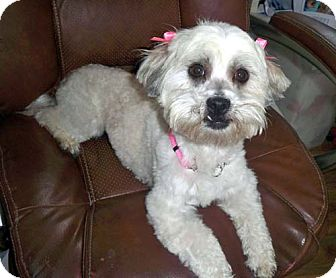 Lhasa Apso/Bichon Frise Mix Dog for adoption in Los Angeles, California - PEARL
