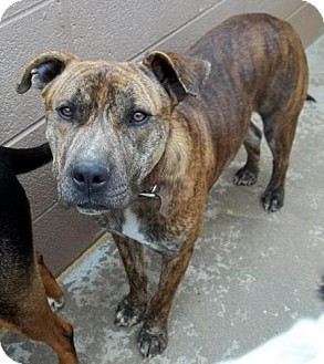 American Staffordshire Terrier Mix Dog for adoption in Gaffney, South Carolina - Jake