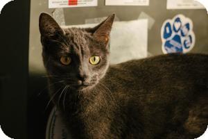 Russian Blue Cat for adoption in Warren, Michigan - Valentina