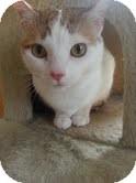 Domestic Shorthair Cat for adoption in Madison, Wisconsin - Vitani