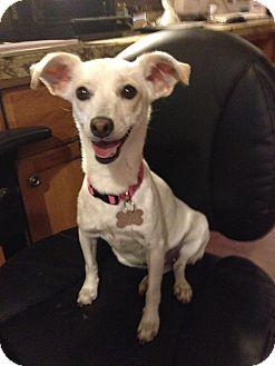 Chihuahua Mix Dog for adoption in Scottsdale, Arizona - Snow White