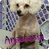 Adopt A Pet :: Anastasia - St. Robert, MO