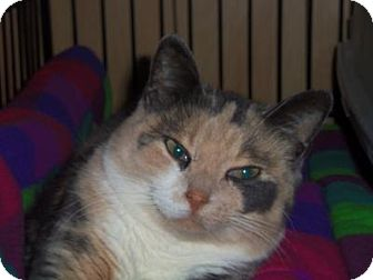 Calico Cat for adoption in Medford, Wisconsin - KAYLEE