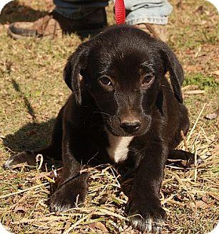 Border Collie/Labrador Retriever Mix Puppy for adoption in Windham, New Hampshire - Espresso (In New England)