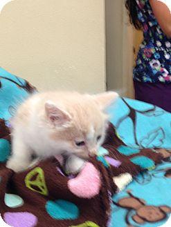 Domestic Longhair Kitten for adoption in Lacey, Washington - Tempelton
