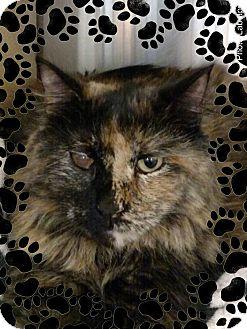 Domestic Longhair Cat for adoption in Pueblo West, Colorado - Fanny