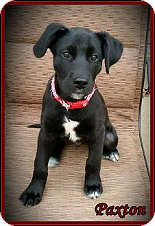 Labrador Retriever Mix Puppy for adoption in Lincoln, Nebraska - PAXTON