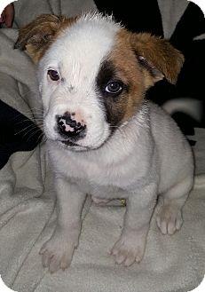 Australian Cattle Dog Mix Puppy for adoption in Chandler, Arizona - milo