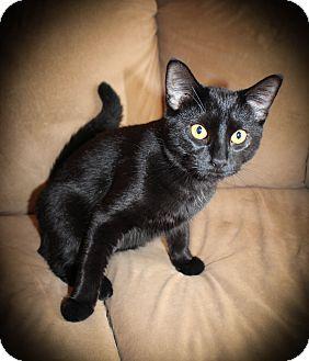 Domestic Shorthair Cat for adoption in Hamilton., Ontario - Georgie