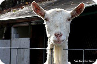 Goat for adoption in Maple Valley, Washington - Chiquita