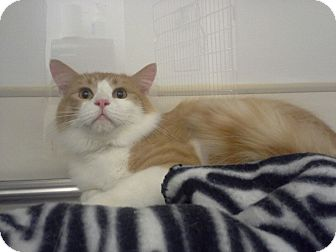 Domestic Shorthair Cat for adoption in Northbridge, Massachusetts - Thomas