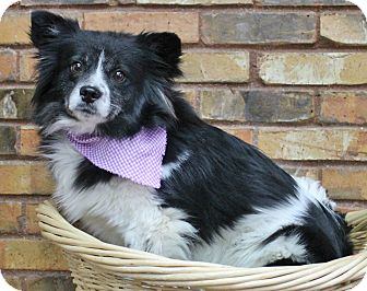 Pomeranian Mix Dog for adoption in Benbrook, Texas - Tic Tac