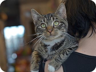 American Shorthair Kitten for adoption in Brooklyn, New York - Ben