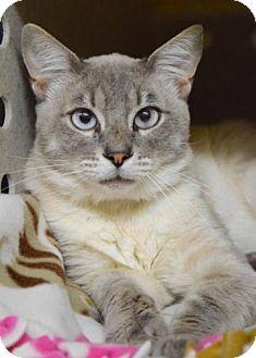 Siamese Cat for adoption in Dublin, California - Huxley