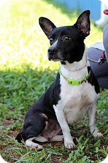 Terrier (Unknown Type, Small)/Chihuahua Mix Dog for adoption in Waldorf, Maryland - Sugar ADOPTION PENDING