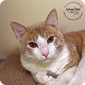 Domestic Shorthair Cat for adoption in Lyons, New York - Dexter